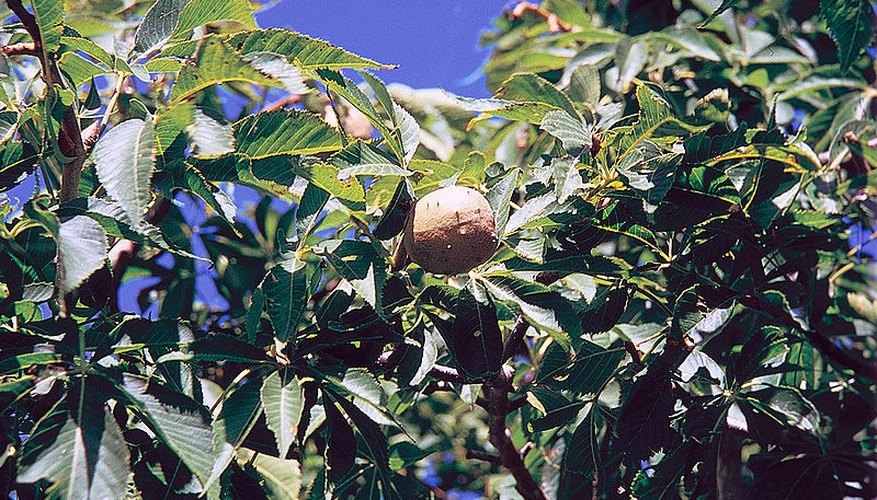 Uses for Buckeye Trees