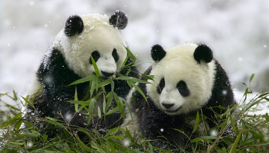 Pandas are members of the Animalia kingdom.