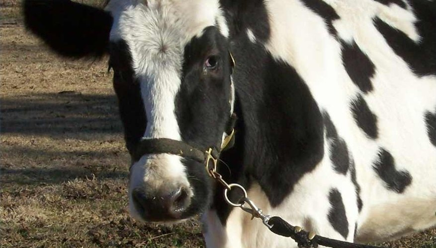 Halter Break a Cow and Teach it Lead