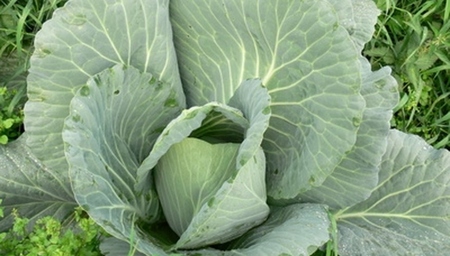 Cabbage plants need boron.