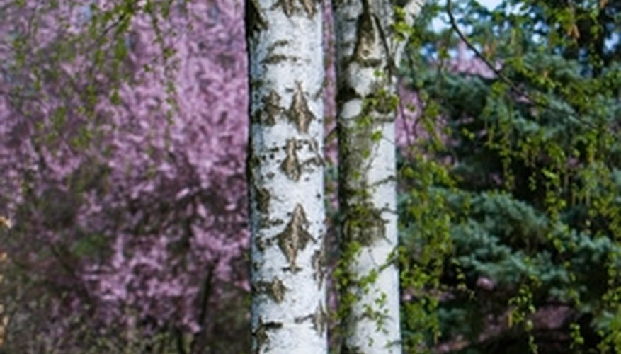 Birch trees and redbuds are good deer resistant choices.