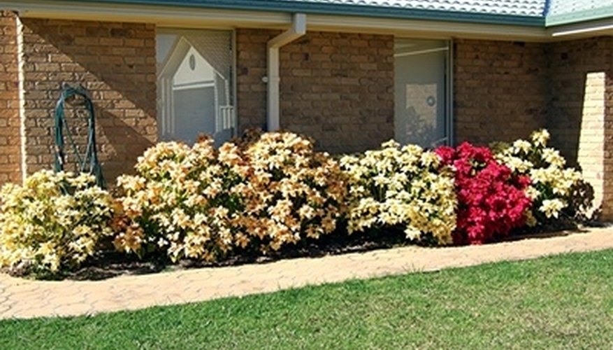 In frost-free areas, poinsettias grow to be bushes.