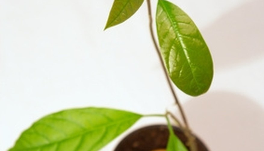 Avocado tree seedling.