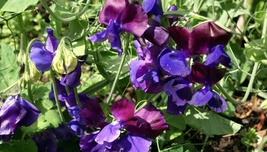 Purple sweet pea plants produce a sweet scent.