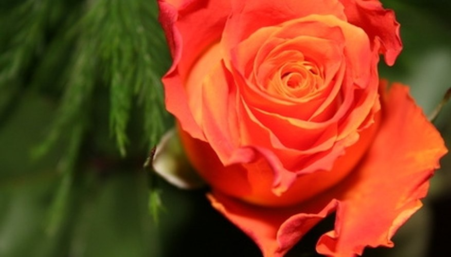 Coral-colored rose plants produce a strong scent.