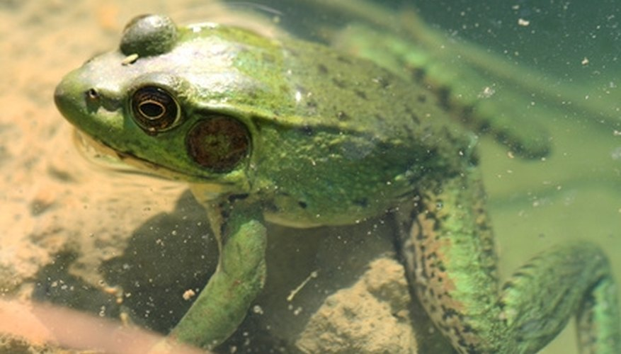 A waterbed liner can make a home for frogs.