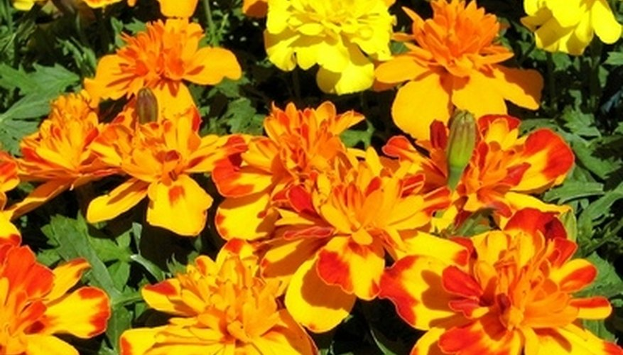 Marigold blossoms are aflame with vibrant reds, yellows and oranges.