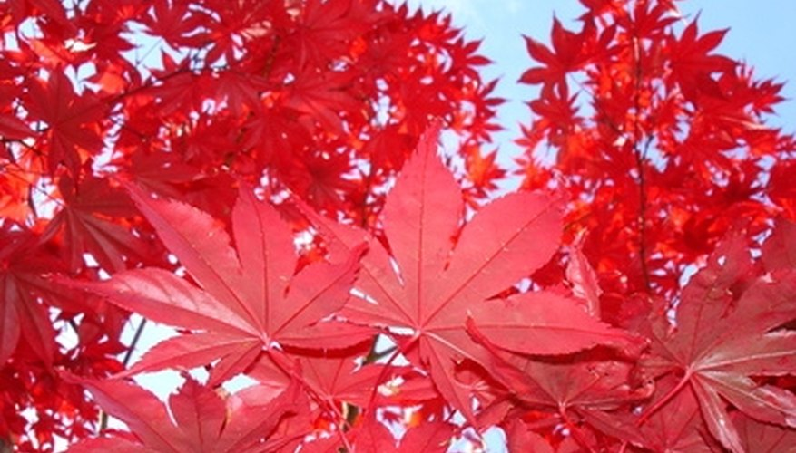 A red hue is a primary characteristic of many Japanese maple cultivars.