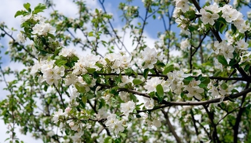 Spray at apple blossom drop to kill insects.