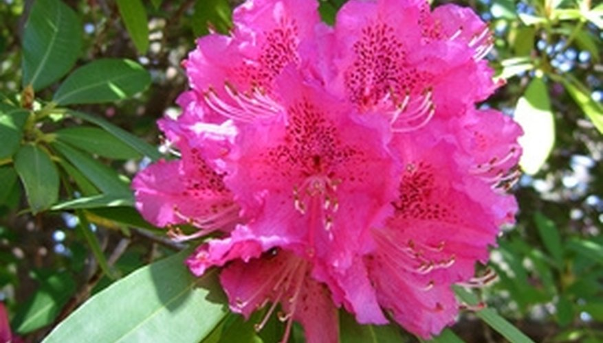 The evergreen rhododendron produces brilliant spring blossoms.