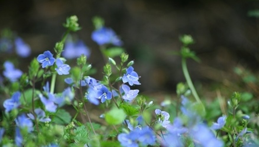 Corn speedwell produces small blue flowers.