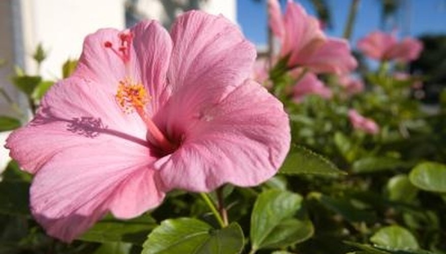 : Hibiscus Rosa-sinensis is the national flower of Malaysia.
