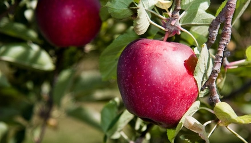Traditionally, the fruit on the Tree of Life is described as an apple.