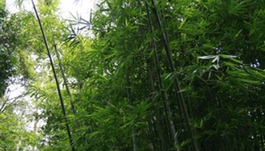Large stands of bamboo grow in many areas of the world.