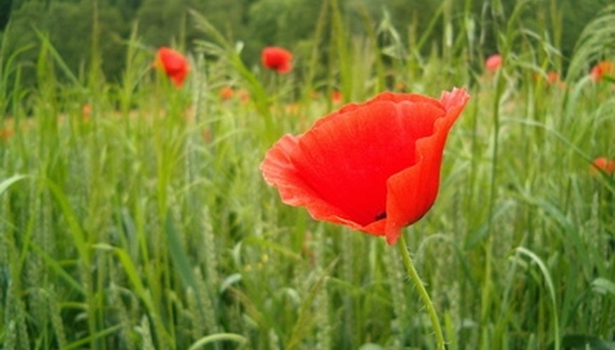 The red poppy owns a striking drama.