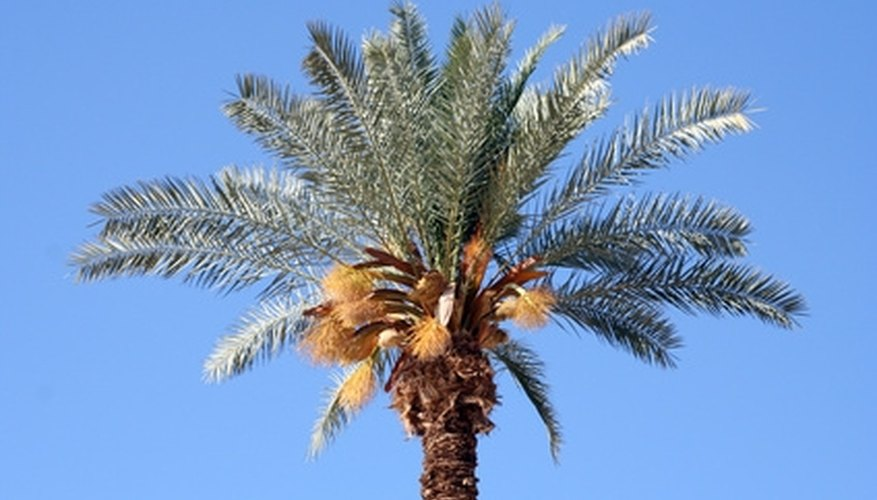 Date palms are an attractive species of tree referenced in the Bible.
