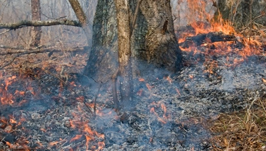 A regular wildfire regime is a hallmark of many savanna ecosystems.