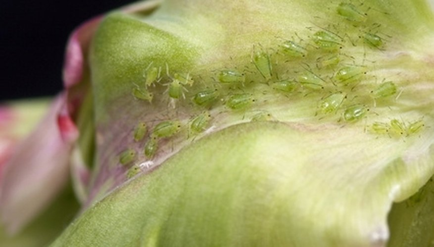 Aphids often feed in colonies on the undersides of leaves.
