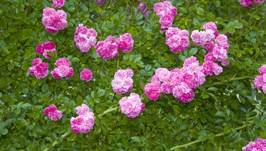 Large climbing roses need more fertilizer than shrub roses.