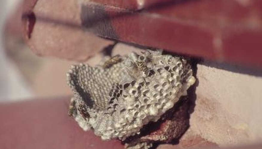 Hornets travel in and out of the nest regularly, so repeat spraying as necessary.