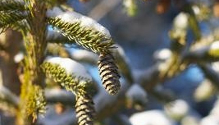 Spruce cones provide food for birds and small animals.
