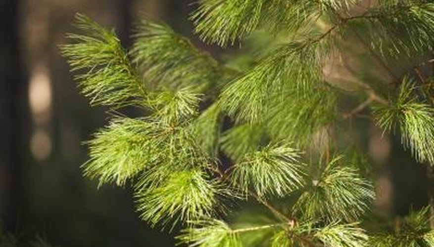 Evergreens periodically drop some of their needles.
