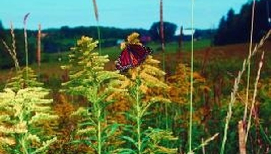 Goldenrod might look like a flower, but it's not.