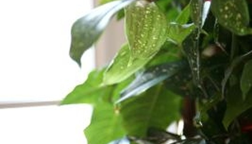 Pothos has leaves that are dotted with cream or yellow markings.