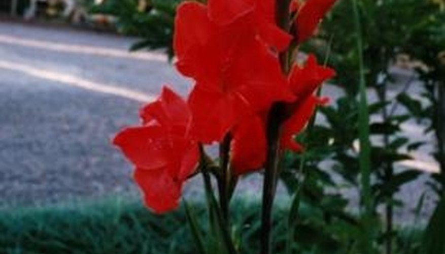 Gladiolas are named for their sword-like leaves.