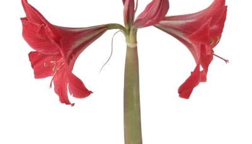 Amaryllis can be planted in pebbles for a showy indoor display.