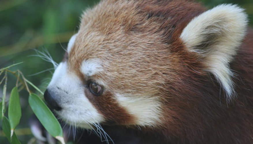 The red panda was placed on the endangered species list in 1996.