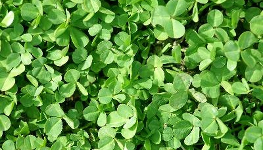Clover is a typical lawn weed.