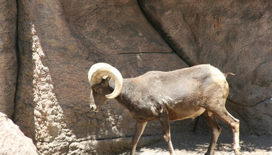Big horn sheep love to climb.