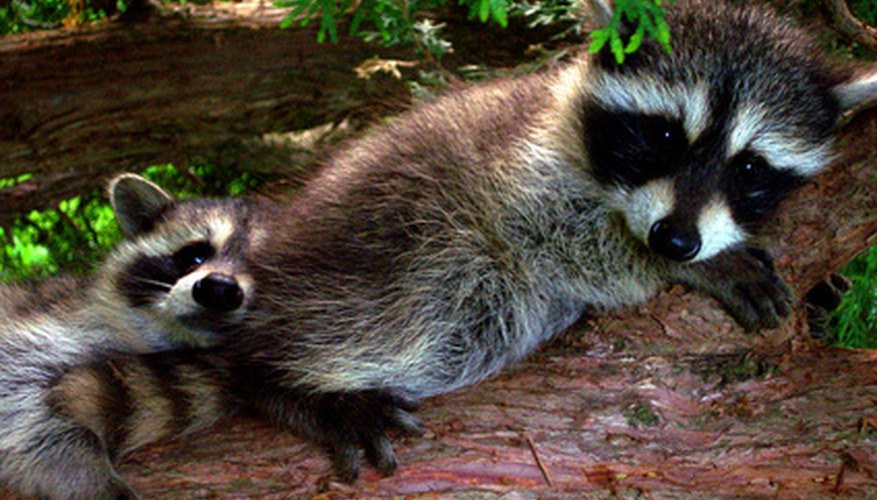 They may be cute, but raccoons can destroy your house and yard.