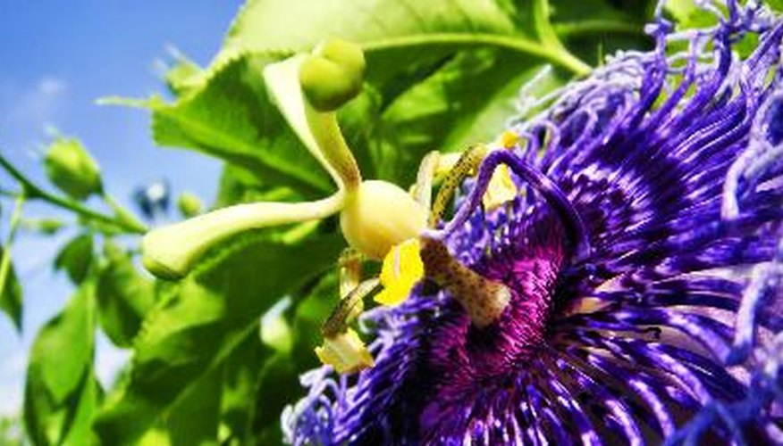 Passionflower serves as a larval host for butterflies.