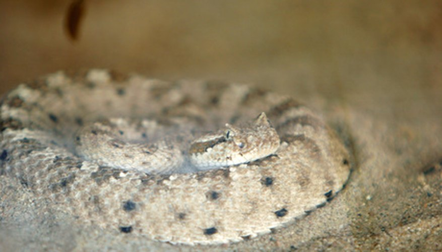 Sidewinders (Crotalus cerastes) are sit-and-wait predators