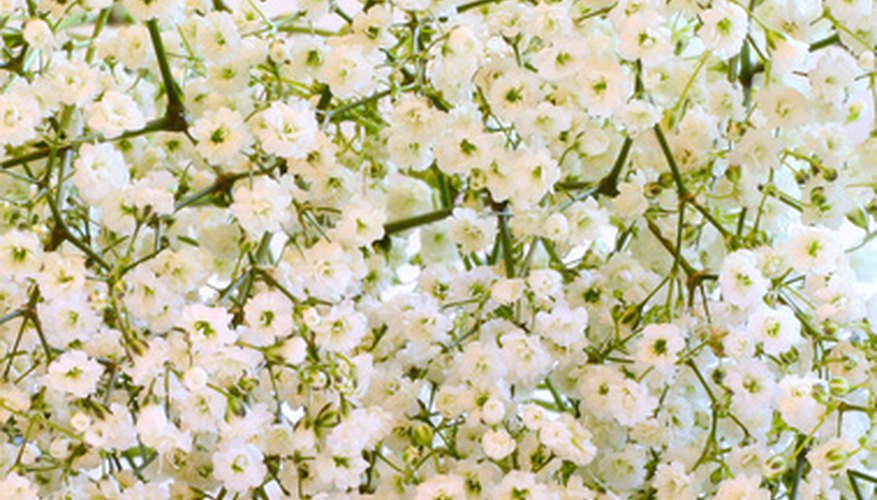 Baby's-breath is usueful for all-white arrangements.