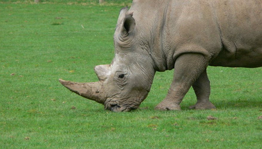 A rhino horn is surprisingly similar in composition to a human fingernail.