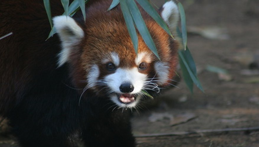 The red panda's markings resemble that of raccoons.