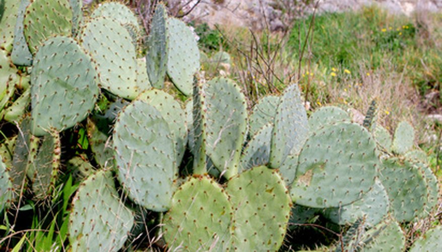 Cacti store water to maintain life in hot, dry climates.