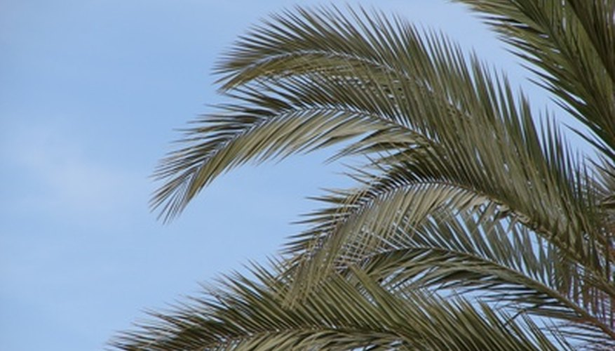 Palm leaves should spread out from the top of the tree like a waterfall.