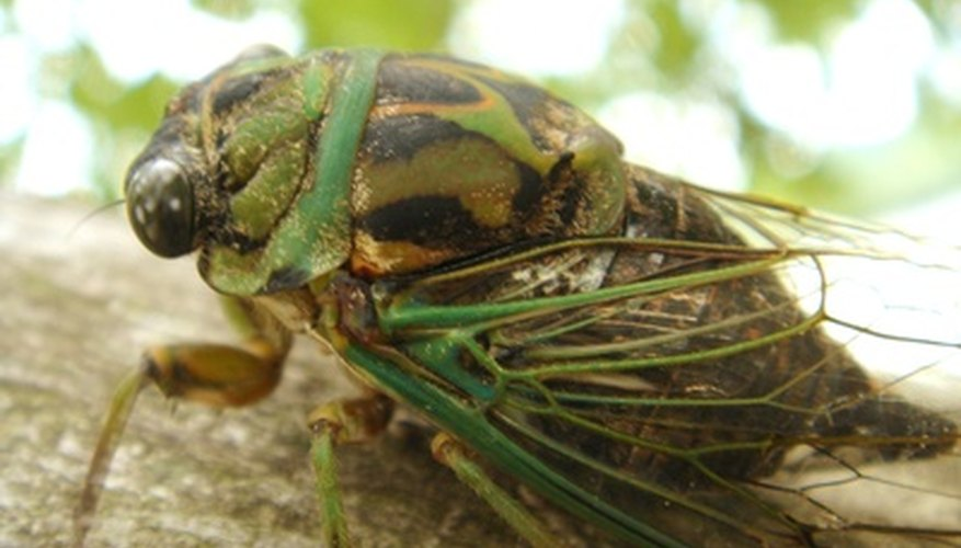 The cicada killer eats cicadas.