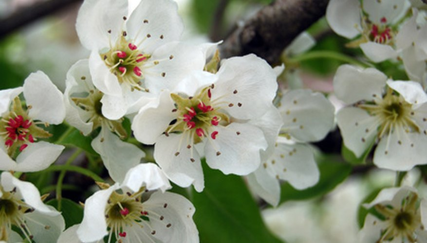Pear blossoms have a long history of symbolism.