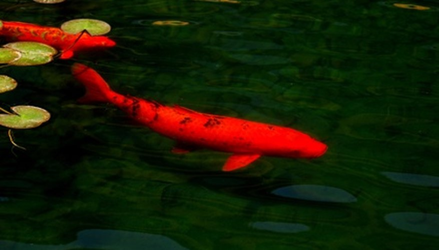 Male koi are considered sexually mature at three to five years of age.