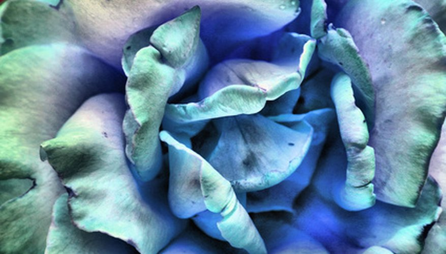 Blue roses are usually dyed, white roses.