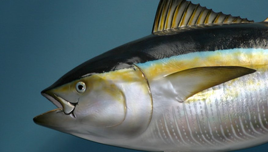 Tuna fish control their body temperature by a specialized heat exchange system of blood vessels.