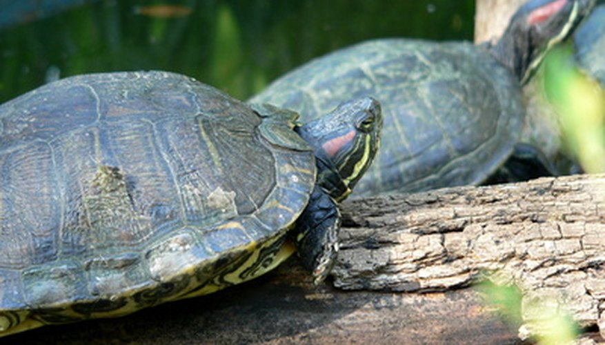 Oklahoma's waterways support 15 different types of water turtles.