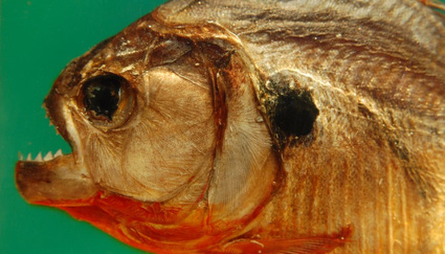 Piranhas thrive in rivers and lakes.