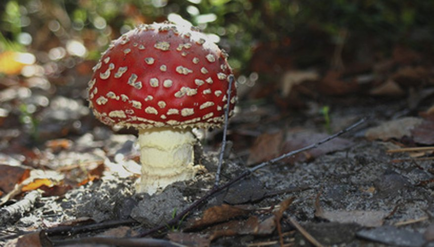 Poisonous amanita mushrooms grow in South Carolina.