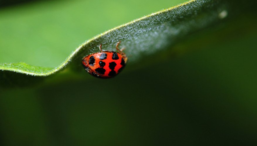 There are many effective home remedies to get rid of Asian beetles.